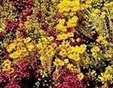 Just Seed Fetthenne-Mischung, Sedum, Blumen 2000 Samen