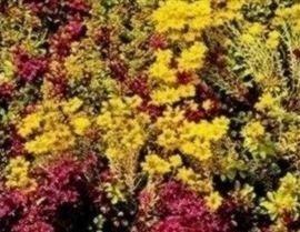 JustSeed Fetthenne-Mischung, Sedum, Blumen 200 Samen