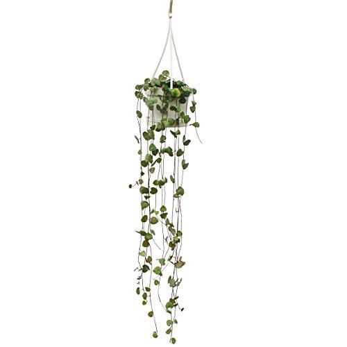 zimmerpflanze-zum-hangen-ceropegia-woodii-leuchterblume-10cm-ampel