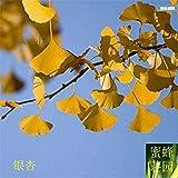 VISTARIC Kaufen Photinia Serrulata Baumsamen 100pcs Pflanze Red Robin Für Heather Shi Nan