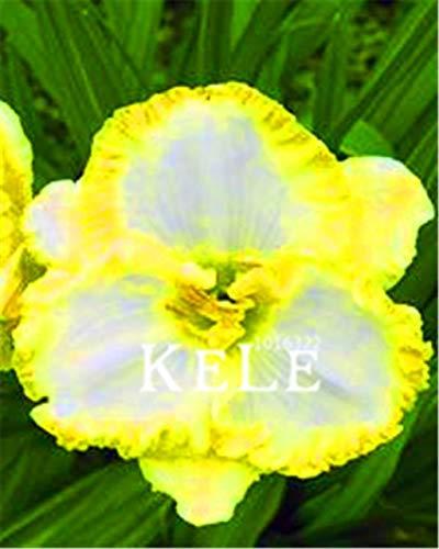 Shopmeeko Samen: Echte! 100 Stücke/Los Hybrid Taglilie Blumen Pflanzen Hemerocallis Lily Indoor Bonsai Home Garten Supplies: 16