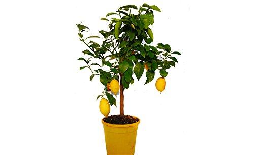 Pianta albero di limone quattro stagioni vs24 agrumi di sicilia frutto giardino