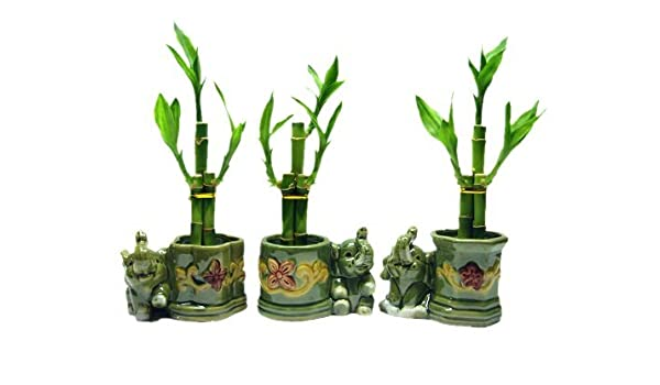 3 Sets of Lucky Bamboo Arrangements in 3 Different Shapes of