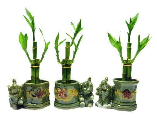 3 Sets of Lucky Bamboo Arrangements in 3 Different Shapes of Lucky Bamboo Vase with Elephant. by Betterdecor