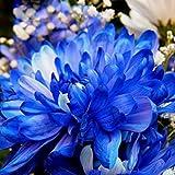 Vista 120 teile/beutel Seltene Blaue Weiße Farbe Chrysantheme Samen Blühende Morifolium Samen Blume Bonsai Topfpflanze für DIY Hausgarten