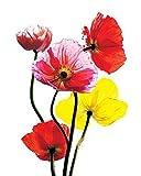 1art1 45314 Blumen - Bunte Mohnblumen Poster Kunstdruck 50 x 40 cm