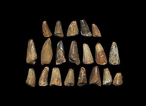 Dinosaures Fossiles - Histoire Naturelle–fossiles mosasauridae Marine