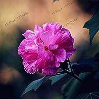 VISTARIC 16 20 Pz Bonsai Fiori Amaranthus Tricolour Semi Poinsettia Amaranto Tasso Di