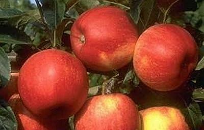Herbstapfel - Malus - Royal Gala - süß im Geschmack, lange lagerfähig, 120-150 cm Busch von Baumschule Anding auf Du und dein Garten