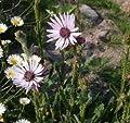 Südafrikanische Purpur Distel - Berkheya purpurea von Baumschule auf Du und dein Garten