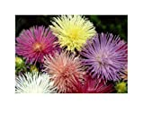 110x Aster Nova mix (Sommeraster) - Samen Blume Garten Pflanze KS361
