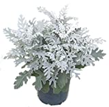 Senecio cineraria, Senecio maritima, Silberblatt Als Balkonpflanze, Beetpflanze im 12 cm Topf