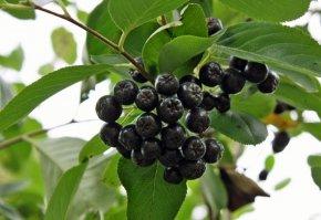 Apfelbeere 'Nero' - Aronia melanocarpa 'Nero' - Aronie -Eine Pflanze von Baumschule - Du und dein Garten