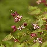 Elfenblume, Epimedium x rubrum
