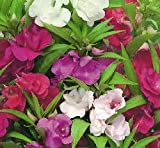 Just Seed - Flower - Balsam - Dwarf Bush Mixed - 150 Seeds