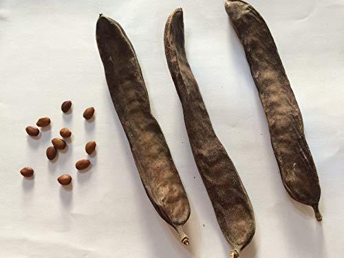 Portal Cool Carob Tree, Ceratonia Siliqua, St. JOHN'S-Brot, Locust Bean 25 frische Samen