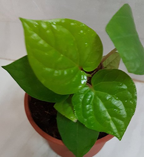 Fressia Betel Leaf Live Plant with 4 inch Pot