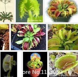 Fash Lady Förderung Freies verschiffen Dionaea samen Muscipula Riesen Clip Venus fliegenfalle Samen 300 STÜCKE Insektenfressende samen Garten blume Samen Bon