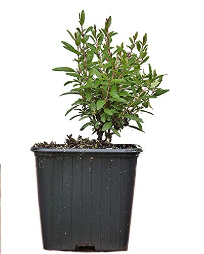 Seedeo® Zwerg-Granatapfel (Punica granatum Nana) Jungpflanze ca. 15 cm höhe