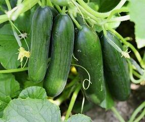 Bobby-Seeds Gurkensamen Twenty F1 Snack- und Salatgurke Portion