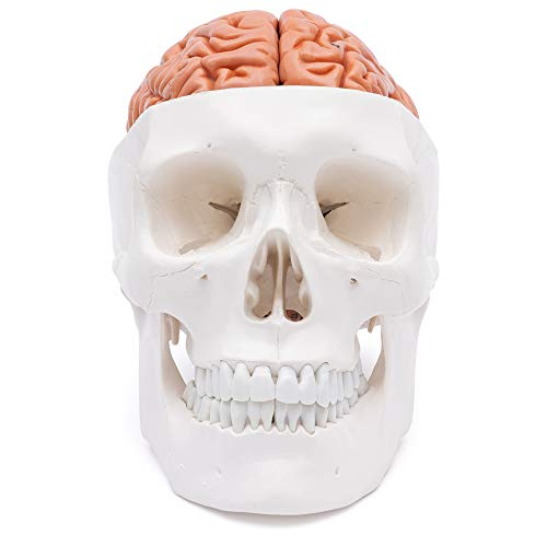 Zoom IMG-1 cranstein e 236 cranio umano