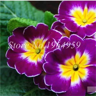 Pinkdose 20 PC/Satz Bonsai Soursop, Graviola, Annona Muricata, Annonacin, Profi-Verpackung, Erbstück Bio Köstlicher Fruchtpflanzen: 6
