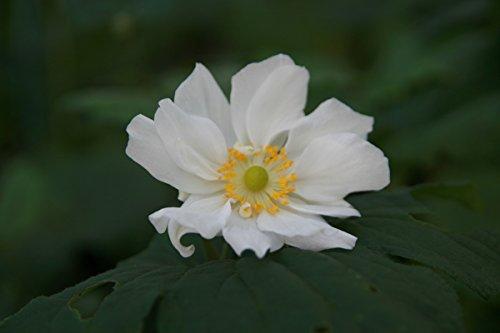 Anemone x japonica 'Wirbelwind' - 3 Pflanzen im 0,5 lt. Vierecktopf