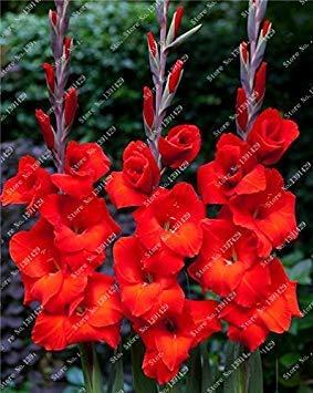 Potseed 2ST Gladiolen Zwiebeln, Gladiole Blume (Nicht Gladiolen Samen) Schöne Blumenzwiebeln Symbolisiert Nostalgie, Hausgarten-Anlagen 23