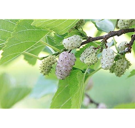 Maulbeere weiße 30 Samen