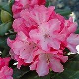 Pinkdose Caldo! Fresco di rododendro Piante, bella pianta giardino bonsai Plantas di fiori rari il tasso di germinazione 95% 200pcs di alta qualità /: 7