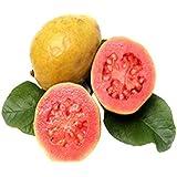 Bee Garden Bee Garden Organic Red Thailand Guava Fruit Seeds - Pack Of 50 Seeds