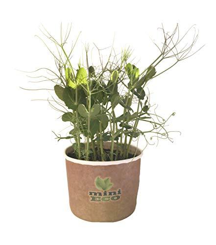 Pois de Vrille Micro-pousses Graine à Germer Bio. Environ 15g de Graines. Kit de Culture Germes. Plantules Cultiver Planter Plante Croissante Légume Semence Microgreens