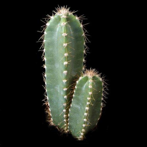Cereus peruvianus - 100 Graines