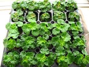20pcs gros 100% Geranium authentique semences graines de fleurs des plantes rares, Bonsai semences biologiques 1682