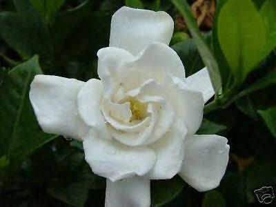 Gardenie Chuck Hayes HARDY GARDENIA Seeds! -