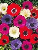 GARTHWAITE NURSERIES® : - 30 Anemone De Caen Bulbs Mixed Colours (Coronaria) Ideal For Rockeries, Borders & Tubs Perennial