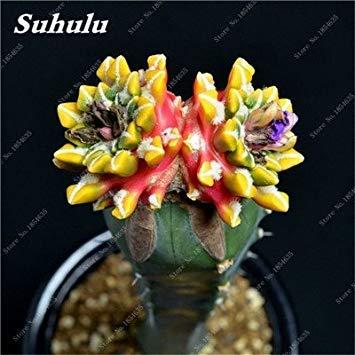 Daisy-04-farbe (VISTARIC 2: 50pcs Acacia farnesiana Blumen Bonsai Samen leicht Cultivating Stauden Blooming Pflanzen für Haus Garten Balkon Hof 2)