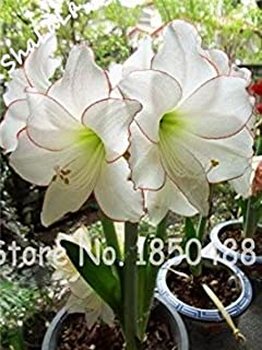 Amaryllis Rouge Double Floraison 1 Bulbe De Fleur Amazon Fr Jardin