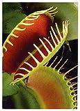 Tropica - Venus-Trampa de Moscas (Dionaea muscipula) - 10 Semillas incluye Sustrato de Cultivo