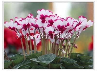 50 Stücke Alpenveilchen Blume, Indoor Samen, Mehrjährige Blüte Samen Alpenveilchen Blumensamen Für Balkon Garten: 9