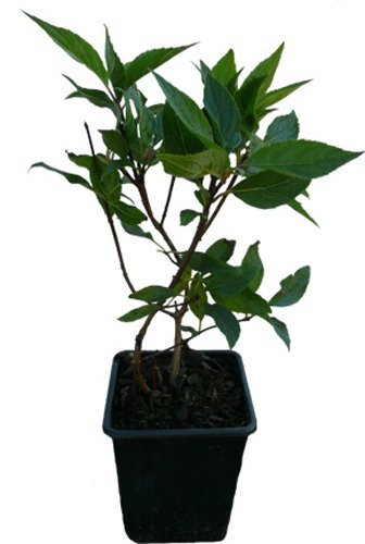 NKY WINKY - Pflanze Hortensie Neuheit ()