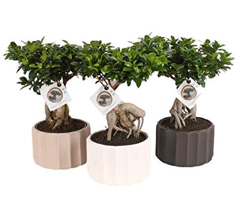 FloraStore - Bonsai Ficus-Ginseng - runder Topf der Welle (Schwarz) (1x), Höhe 50 CM, Zimmerpflanze