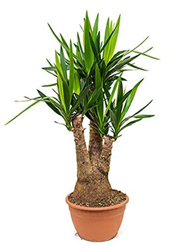 Yucca-Palme große Zimmerpflanze für hellen Standort Yucca elephantipes 1 Pflanze 90-110 cm im 30 cm Topf
