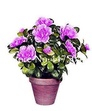Seltene Farbe Japanische Azalee Bonsai, Rhododendron Azalee, Azaleen-Blumen-Bonsai-Baum Sämling DIY Pflanze Hausgarten Easy Grow 100 PC: 12