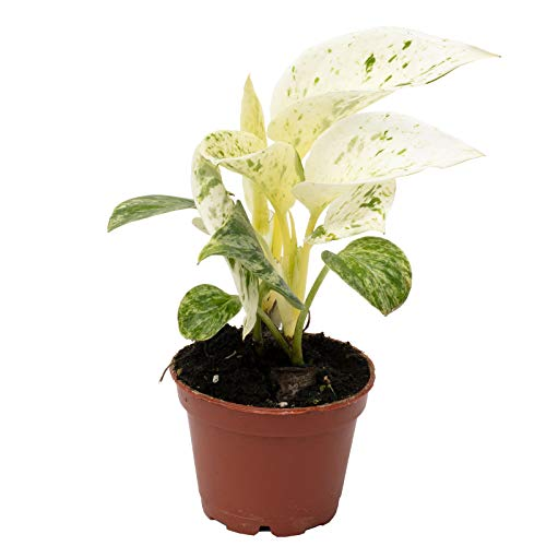 Efeutute - Epipremnum Pinnatum 'Marble Queen' - Höhe ca. 15 cm, Topf-Ø 6 cm