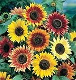 Bobby-Seeds Sonnenblumensamen Herbstzauber Portion