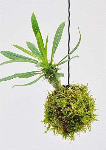 Palmenmann Kokedama (Moosball) Madagaskarpalme - Pachypodium lamerei