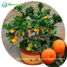 30pcs Eßbares Obst Mandarin Bonsai-Baum-Samen, Citrus Samen Bonsai Mandarine Seeds