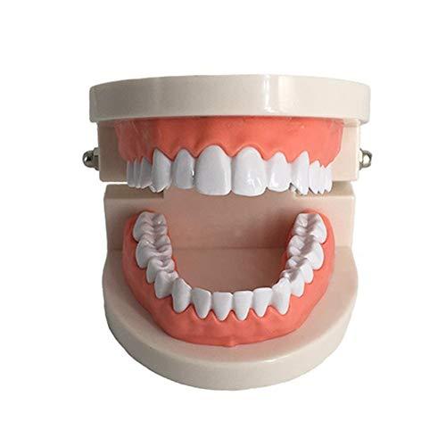 BIUYYY Zahnmodell Kids Dental Teaching Study Supplies Erwachsene Standard Typodont Demonstration Tool -