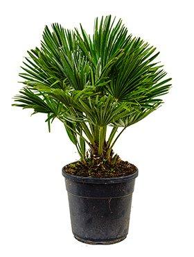 Zwerg-Palme, ca. 70 cm, Balkonpflanze exotisch, Terrassenpflanze halbschattig, Kübelpflanze Westbalkon-Ostbalkon, Chamaerops humilis compacta, im Topf